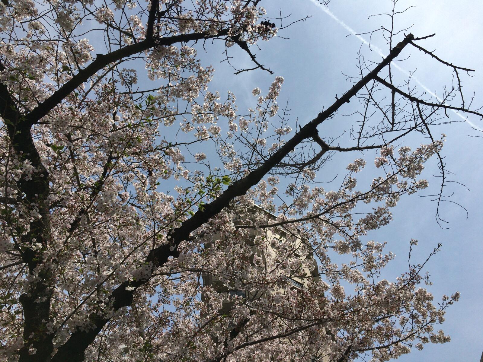 鶴舞公園桜祭りを終えて今思うこと!